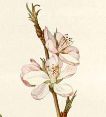Fiori di Bach: Cherry Plum